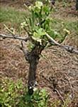 pulverisation-trico-vigne-2