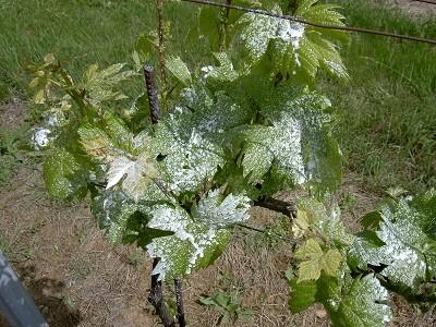 Repousse Vigne traitement chevreuil