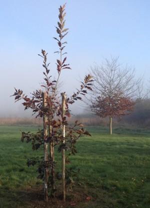 jeune arbre isolé à protéger via TRICO